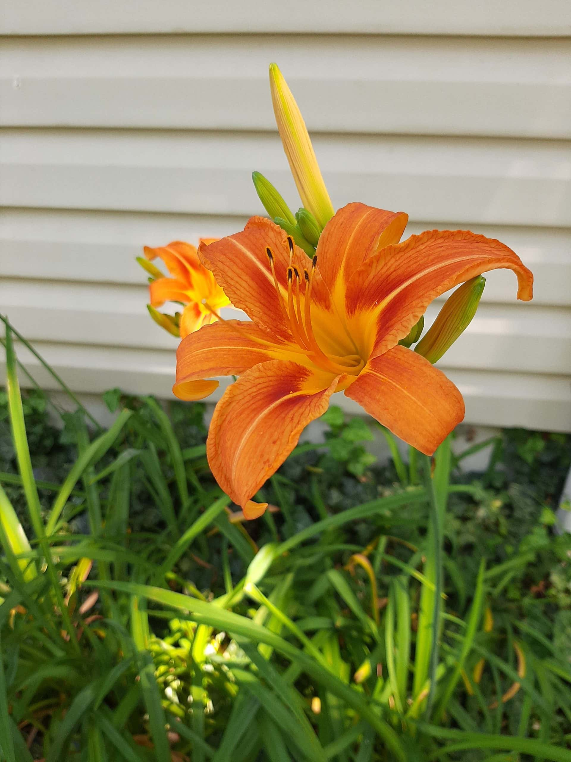 Daylily Blooms, Mint Roots & 1st Bean, Corn and Beet Sprouts